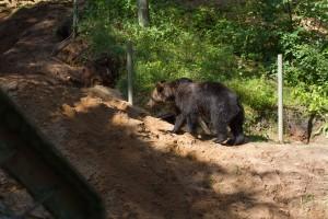 Brown bear, Wildpark Schwarze Berge