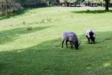 Heidschnucke, a form of moorland sheep, Wildpark Schwarze Berge