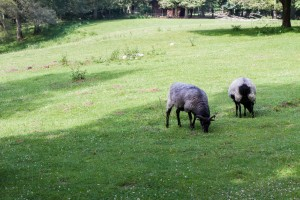 Heidschnucke, a form of moorland sheep, Wildpark Schwarze Berge