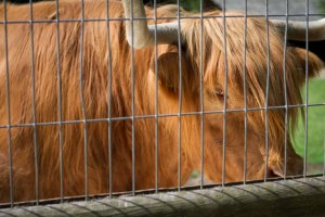 something like a bison, perhaps? Wildpark Schwarze Berge