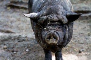 Pot-bellied pig, Wildpark Schwarze Berge
