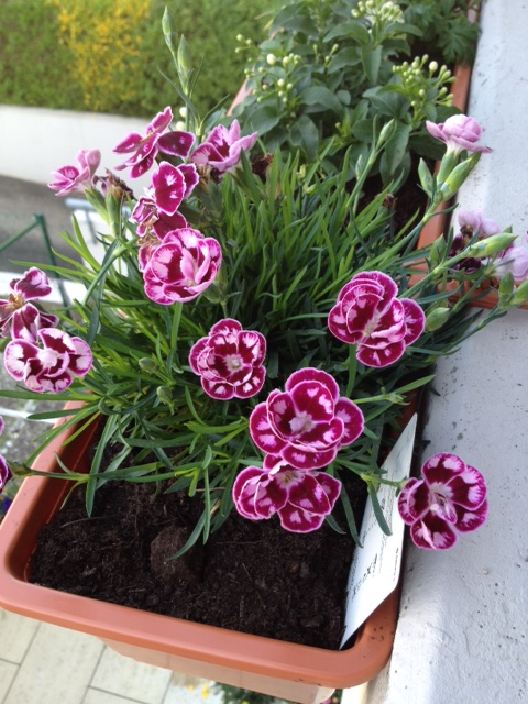 Species of carnation: Dianthus caryophyllus