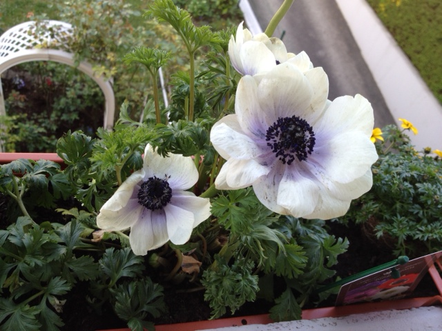 Poppy anemone: Anemone coronaria